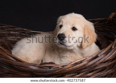 Golden Retriever Puppy Lying in Basket