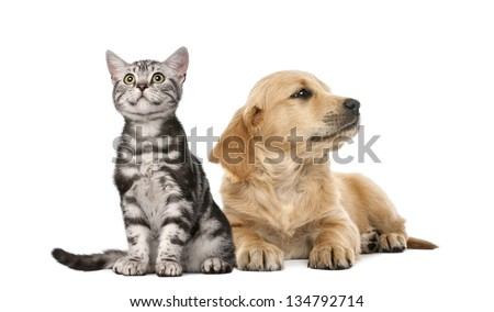Golden retriever puppy lying next to British Shorthair kitten sitting, isolated on white