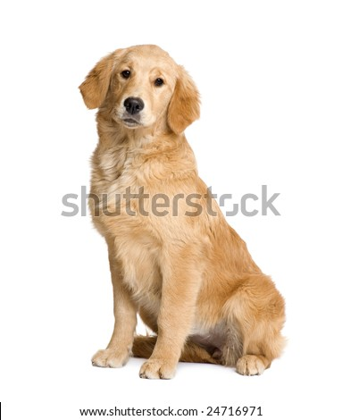 Golden Retriever puppy (5 months) in front of a white background