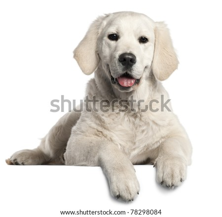 Golden Retriever puppy, 5 months old, lying in front of white background - stock photo