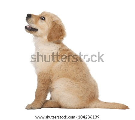 Golden Retriever puppy, 2 months old, sitting against white background
