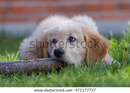 Golden retriever puppy  3 months playing outdoor