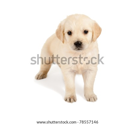 Golden retriever puppy of 6 weeks old on a white background - stock photo