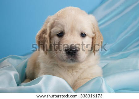 Golden retriever puppy on blue background