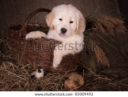 Golden retriever puppy on hay - stock photo