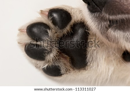 Golden retriever puppy paw
