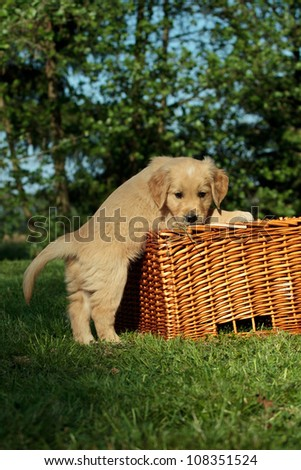 Golden retriever puppy playing with a wicker basket - stock photo