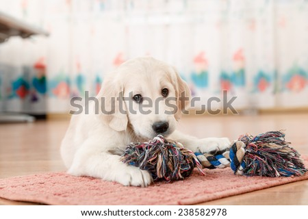 golden retriever puppy playing with toy at room - stock photo