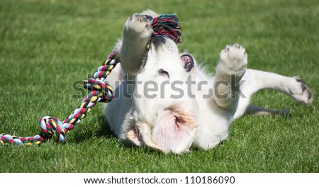 Golden Retriever puppy playing with tug rope - stock photo