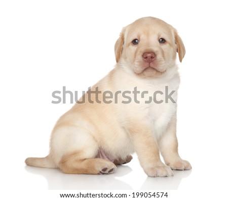 Golden retriever puppy portrai on white background - stock photo