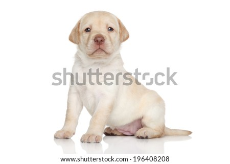 Golden retriever puppy, portrait on a white background