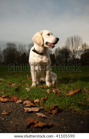Golden Retriever Puppy posing in nature with lots of autumn leafs