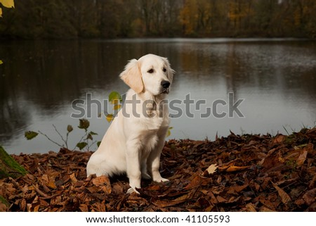 Golden Retriever Puppy posing in nature with lots of autumn leafs - stock photo