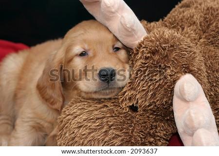 golden retriever puppy resting on stuffed moose animal - stock photo