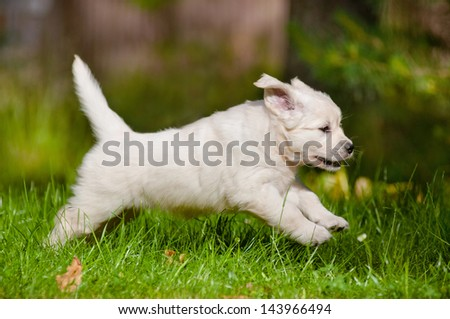 golden retriever puppy running and jumping outdoors - stock photo