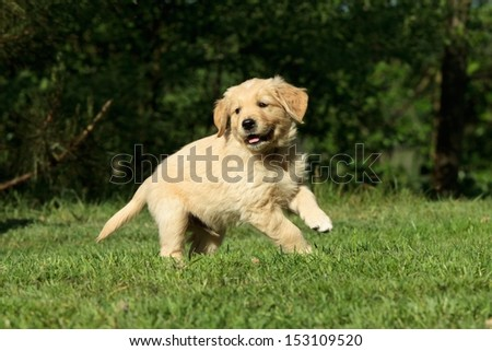 Golden retriever puppy running in a garden - stock photo