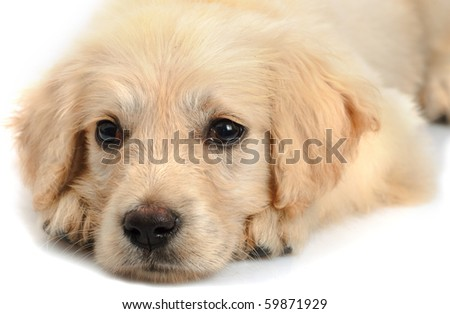 Golden retriever puppy's snout close up  isolated on white background