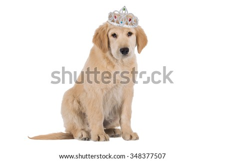 Golden Retriever puppy siting with crown isolated on white background