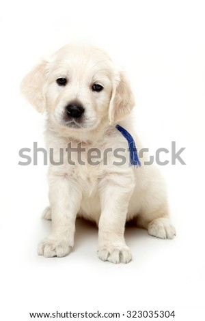 Golden retriever puppy sitting and looking at the camera (isolated on white) - stock photo