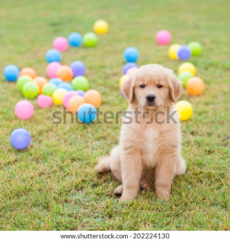 golden retriever puppy Sitting In the grass with the colorful balls on the backside. - stock photo