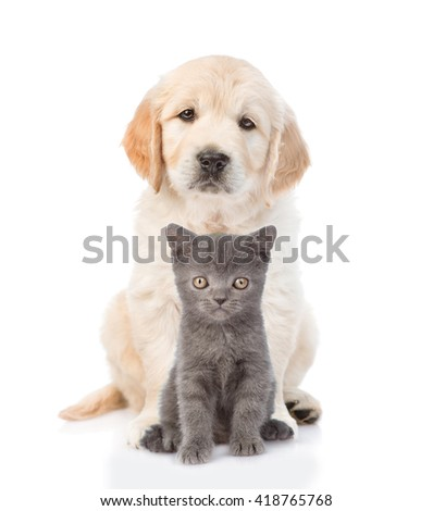 Golden retriever puppy sitting with a kitten. isolated on white background. - stock photo