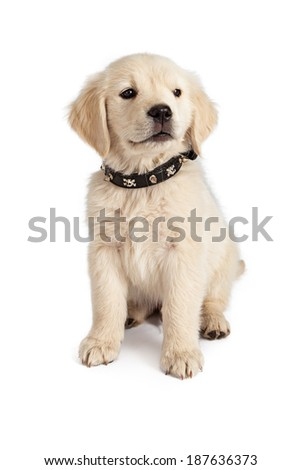 Golden Retriever puppy wearing a skull and crossbones spiked black leather collar