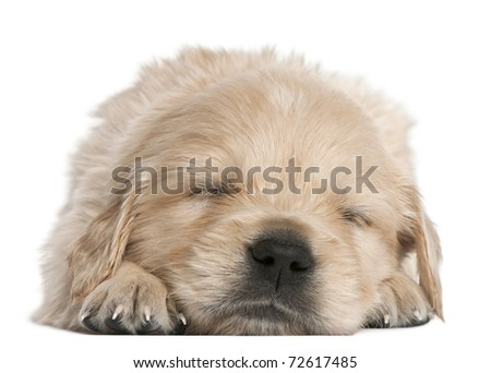 Golden Retriever puppy, 4 weeks old, asleep in front of white background