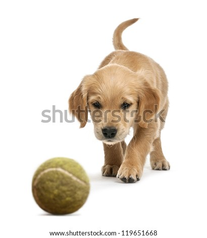 Golden retriever puppy, 7 weeks old, walking towards tennis ball against white background - stock photo
