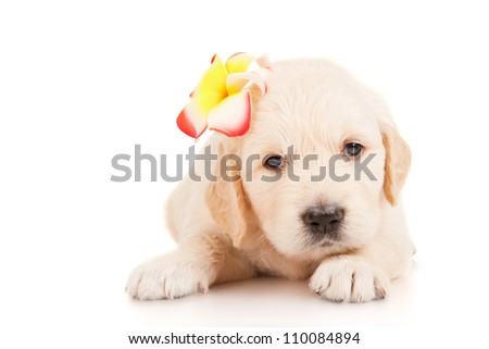 Golden retriever puppy with a flower on her head