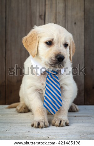 Golden retriever puppy with a tie