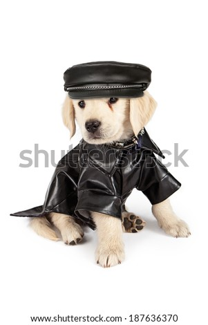 Golden Retriever puppy with an injured eye dressed as a bad dog in a black leather jacket and hat and a skull and crossbones collar. - stock photo