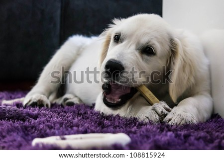 Golden Retriever Puppy with chewing bone - stock photo