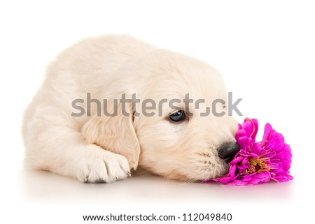 Golden retriever puppy with flower - stock photo