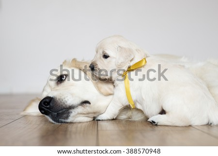 golden retriever puppy with mother - stock photo