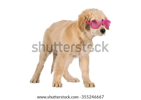 Golden Retriever puppy with pink slot glasses isolated on white background