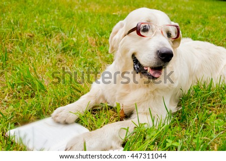 Golden Retriever reading a book with glasses