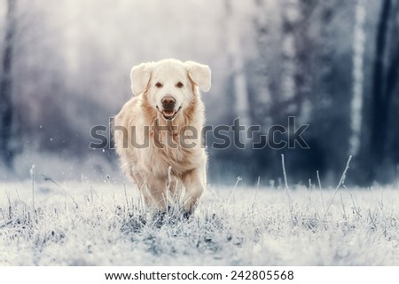 Golden Retriever run in frost - stock photo