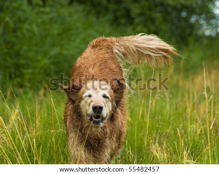 Golden Retriever running in tall grassy field. The happy dog runs and plays in the grassy meadow on a beautiful sunny day.