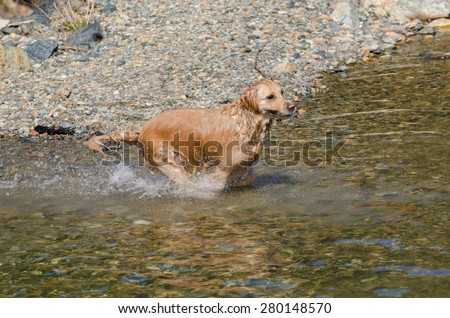 golden retriever running in the water - stock photo