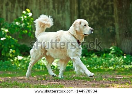 Golden retriever running in the yard - stock photo