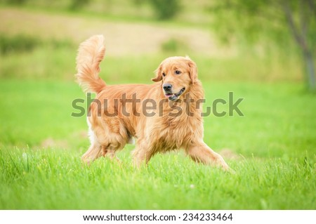 Golden retriever running on the lawn - stock photo
