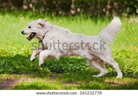 Golden retriever running on the meadow - stock photo