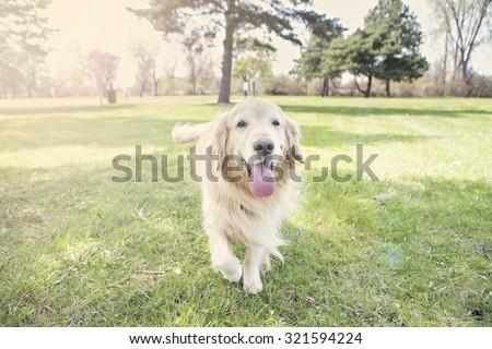 Golden Retriever running outside - stock photo