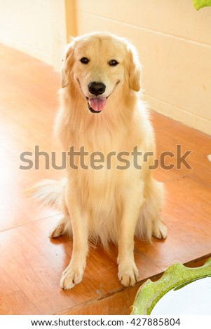 Golden retriever sit down