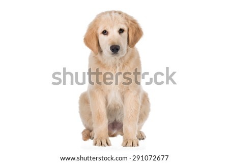 Golden retriever sitting and looking straight isolated on white background