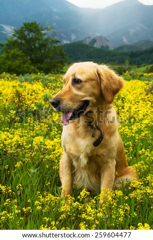 Golden retriever sitting in a field of yellow flowers and grass with a mountain ridge in the back