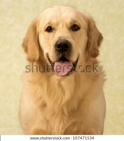Golden retriever sitting in front of a yellow background