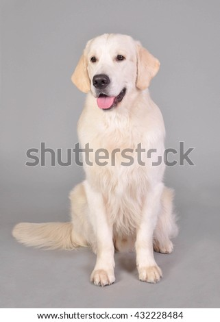 Golden retriever sitting in studio on the light gray background
