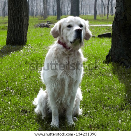 Golden Retriever sitting in the grass
