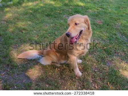 golden retriever sitting in the grass field - stock photo